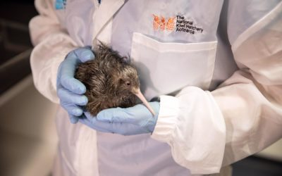 2000th Kiwi chick born at the National Kiwi Hatchery Aotearoa